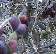 L'olivier : Symbole de paix, de sagesse et d'éternité